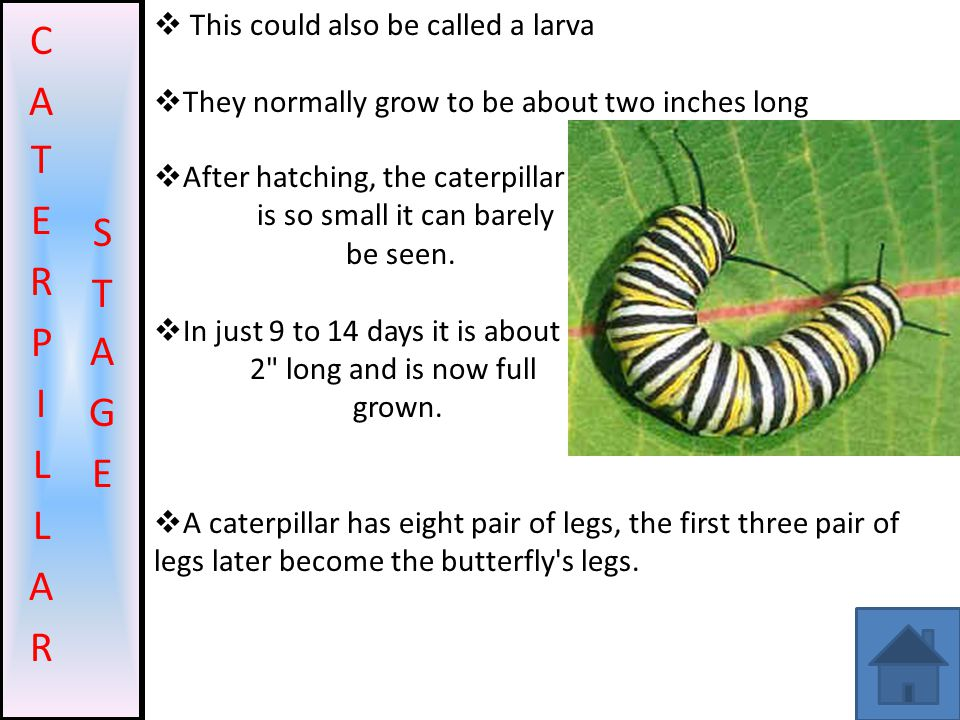 CATERPILLAR STAGE This could also be called a larva