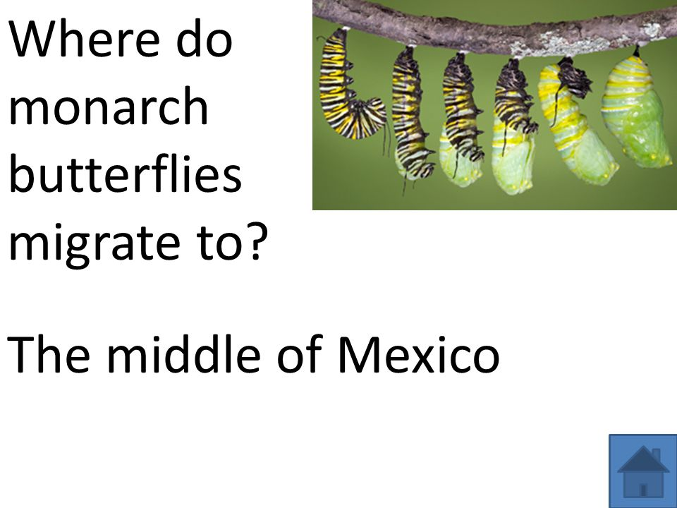 Where do monarch butterflies migrate to The middle of Mexico