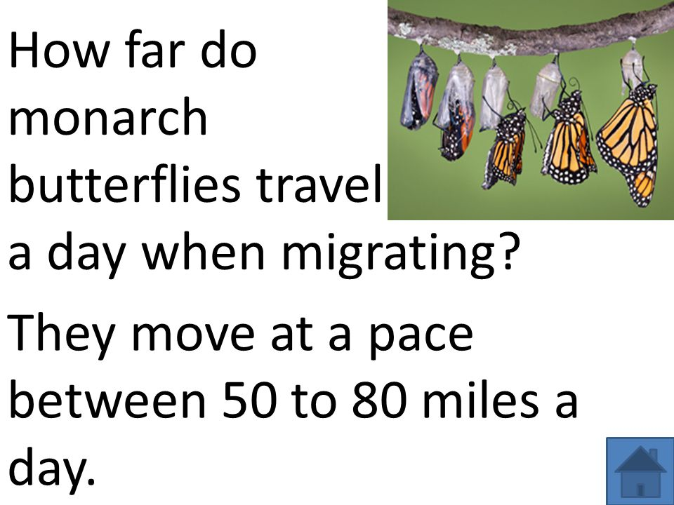 How far do monarch. butterflies travel. a day when migrating.