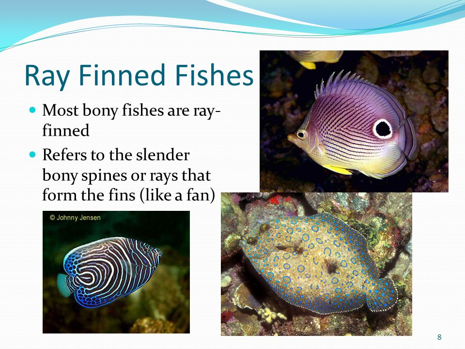 Ray Finned Fishes Most bony fishes are ray-finned