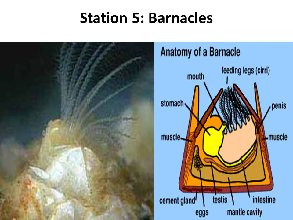 Station 5: Barnacles