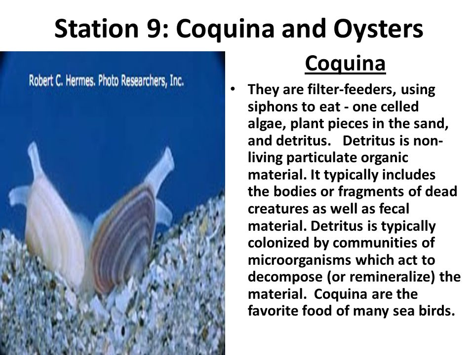 Station 9: Coquina and Oysters