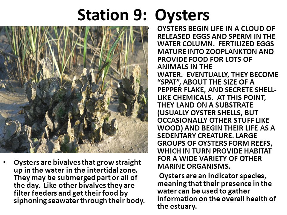 Station 9: Oysters