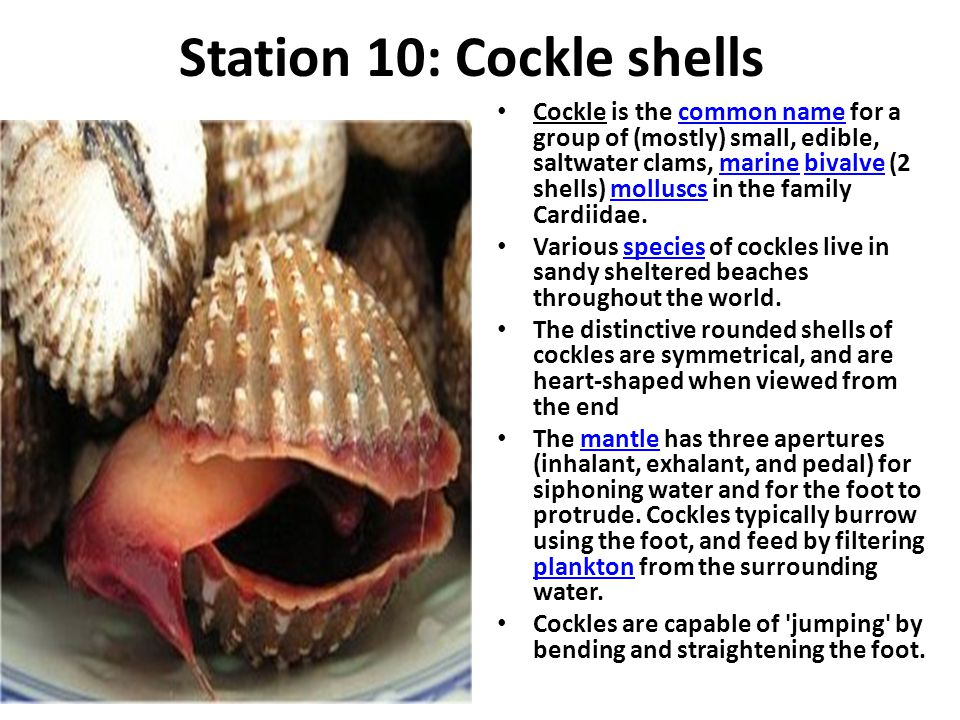 Station 10: Cockle shells