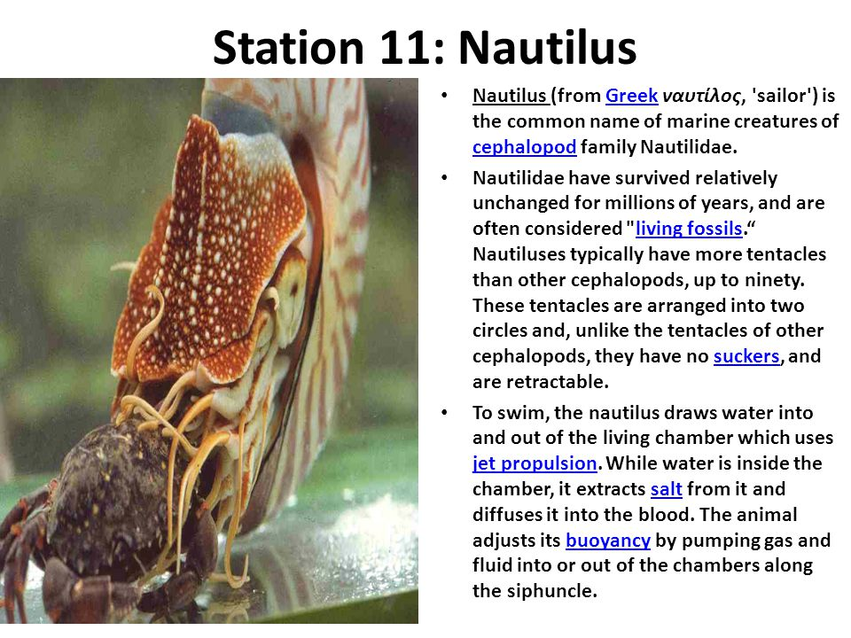 Station 11: Nautilus Nautilus (from Greek ναυτίλος, sailor ) is the common name of marine creatures of cephalopod family Nautilidae.