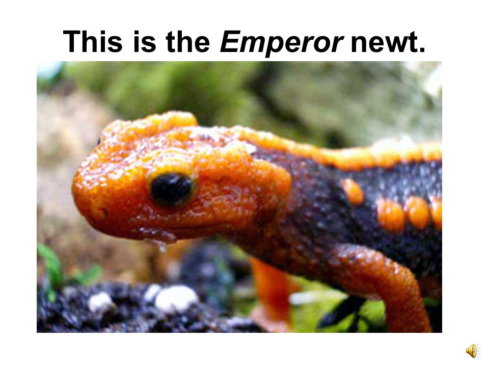 This is the Emperor newt.