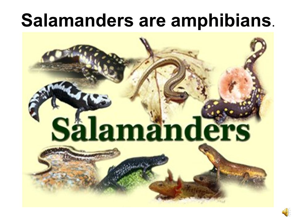 Salamanders are amphibians.