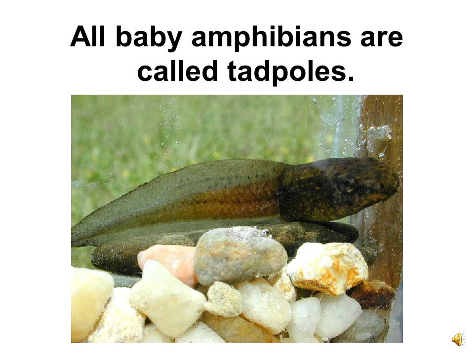 All baby amphibians are called tadpoles.