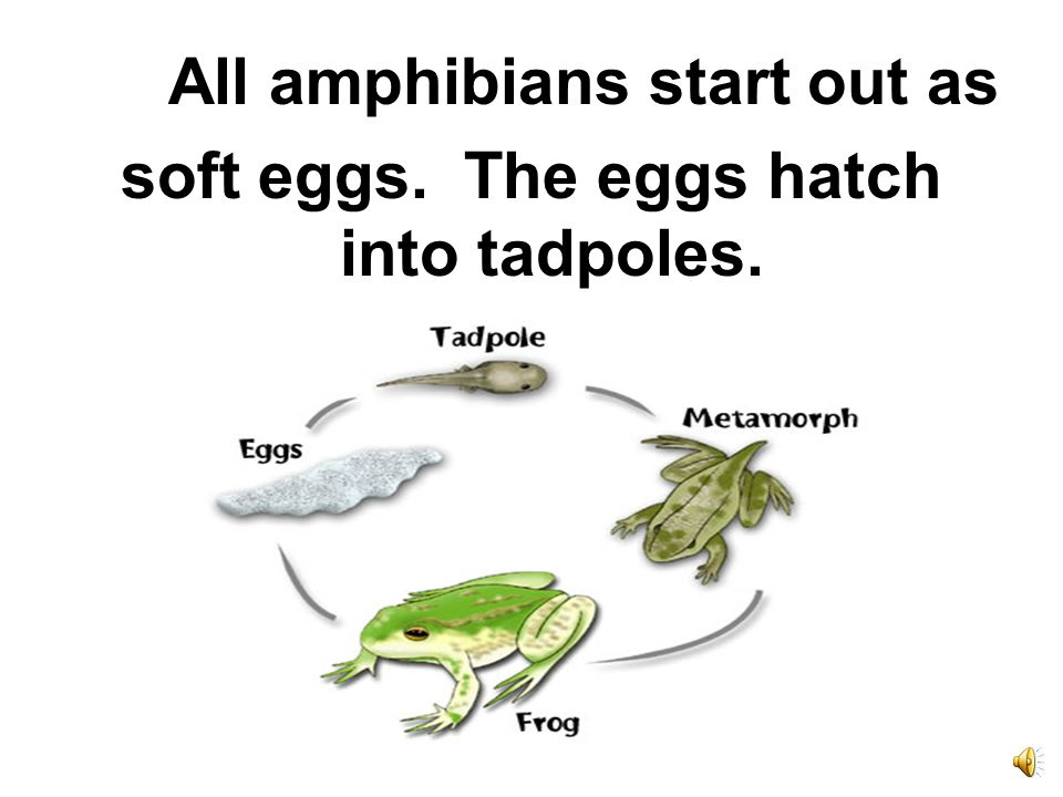 soft eggs. The eggs hatch into tadpoles.