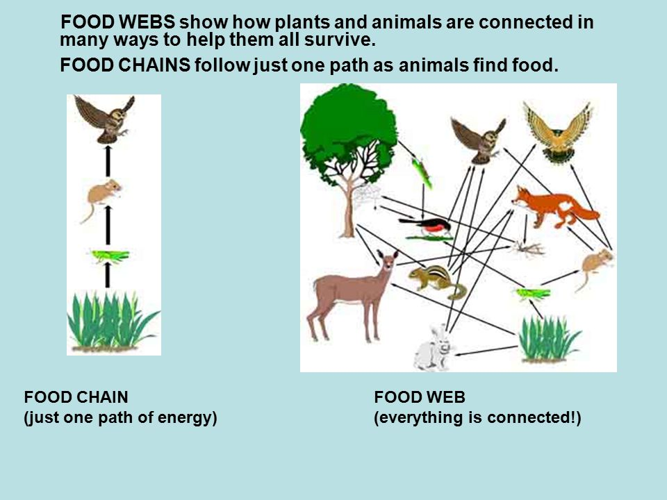 FOOD WEBS show how plants and animals are connected in many ways to help them all survive. FOOD CHAINS follow just one path as animals find food.