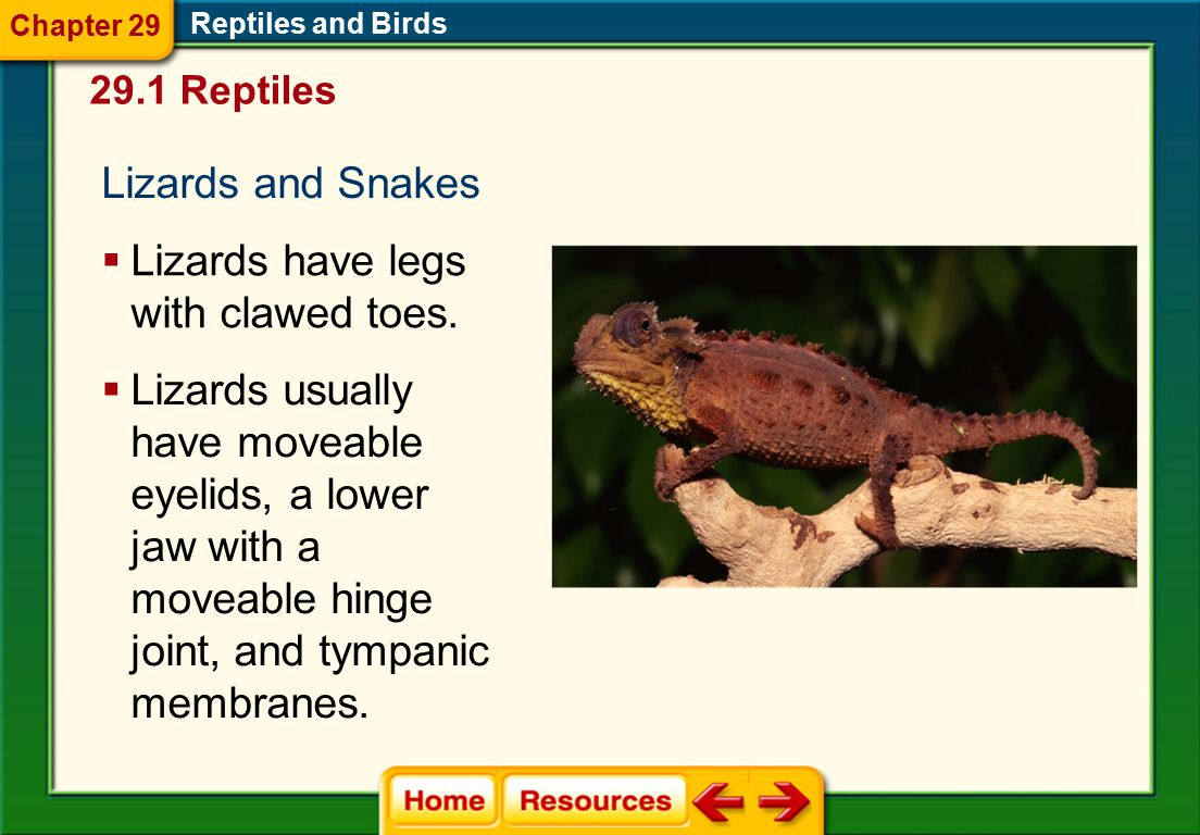 Lizards have legs with clawed toes.
