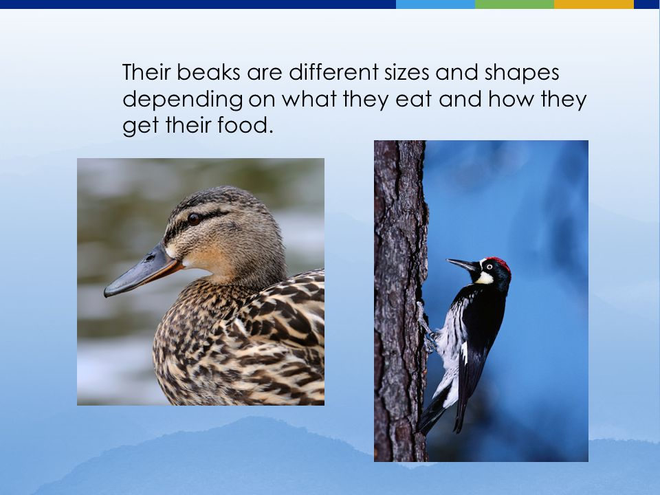 Their beaks are different sizes and shapes depending on what they eat and how they get their food.