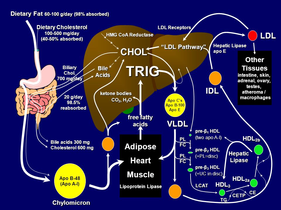 TRIG CHOL LDL IDL VLDL Adipose Heart Muscle Other Tissues