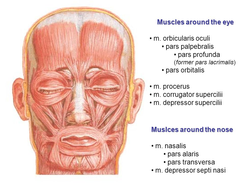 Muscles around the eye m. orbicularis oculi. pars palpebralis. pars profunda (former pars lacrimalis)