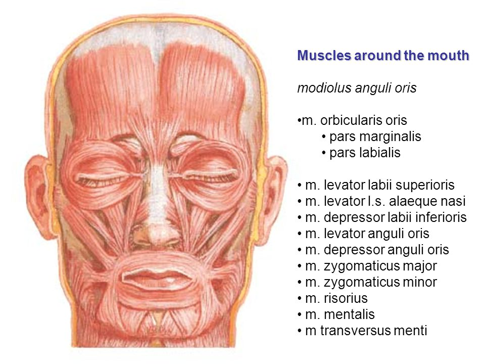 Muscles around the mouth