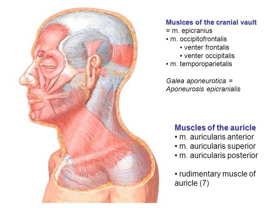 m. auricularis anterior m. auricularis superior
