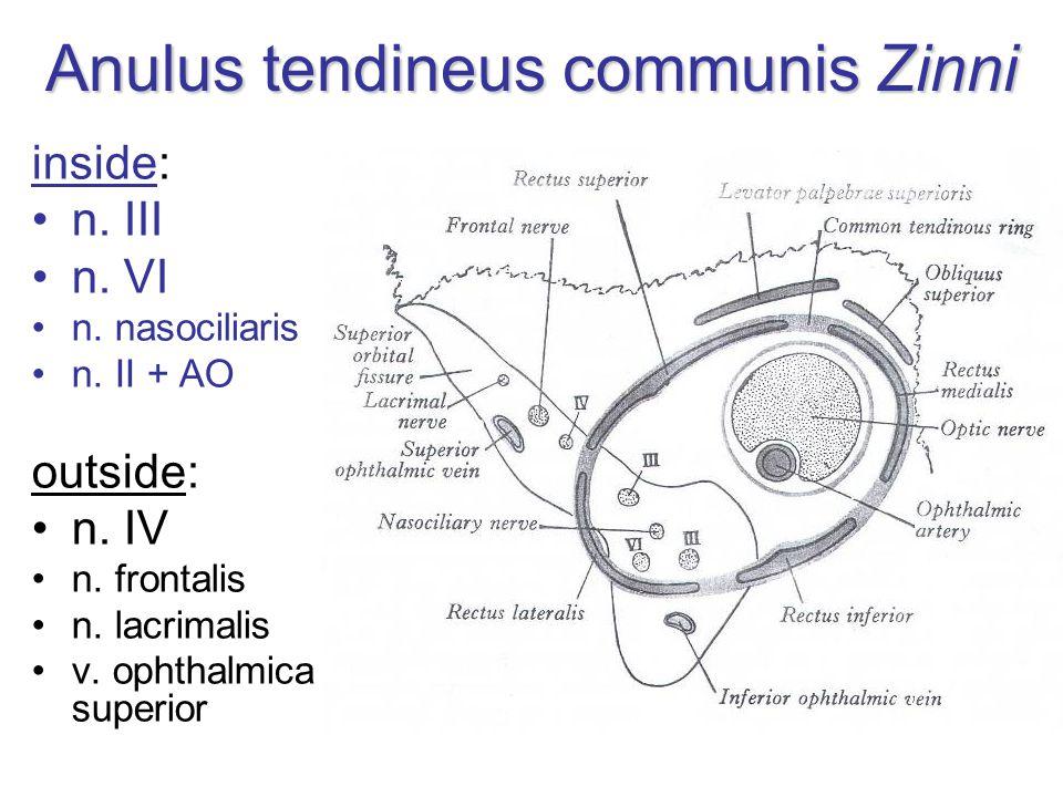 Anulus tendineus communis Zinni