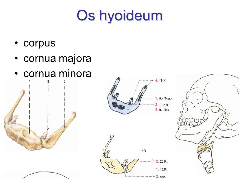 Os hyoideum corpus cornua majora cornua minora