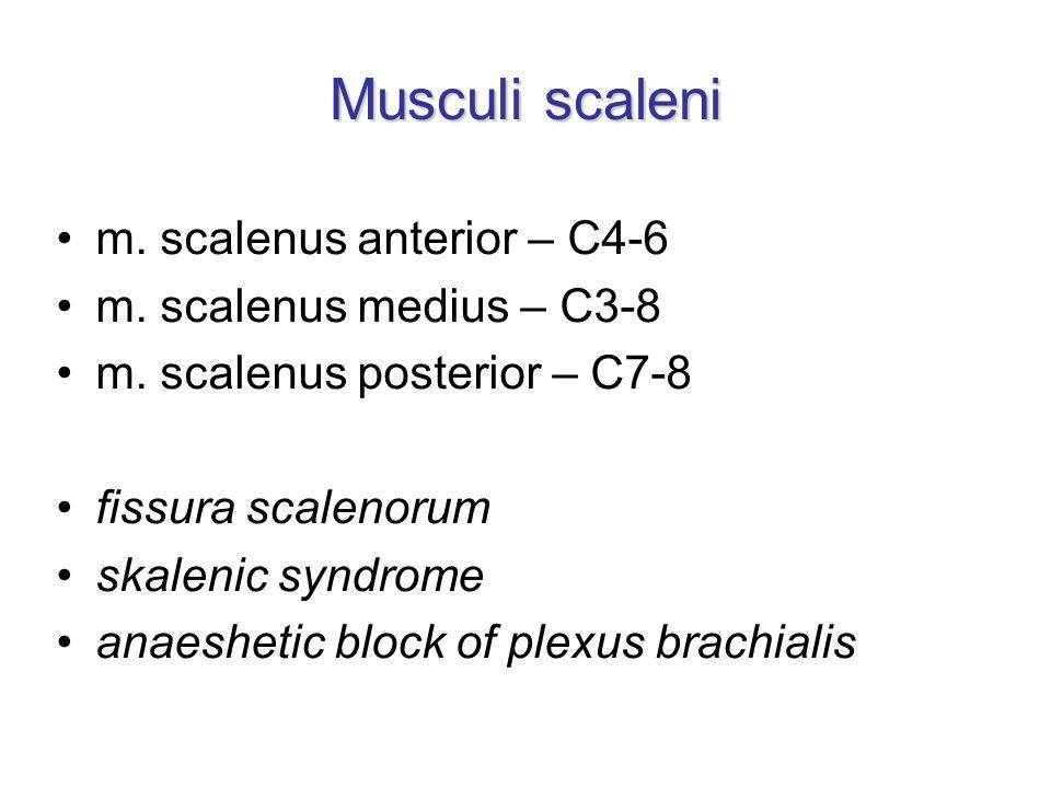 Musculi scaleni m. scalenus anterior – C4-6 m. scalenus medius – C3-8