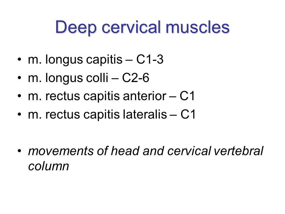 Deep cervical muscles m. longus capitis – C1-3 m. longus colli – C2-6