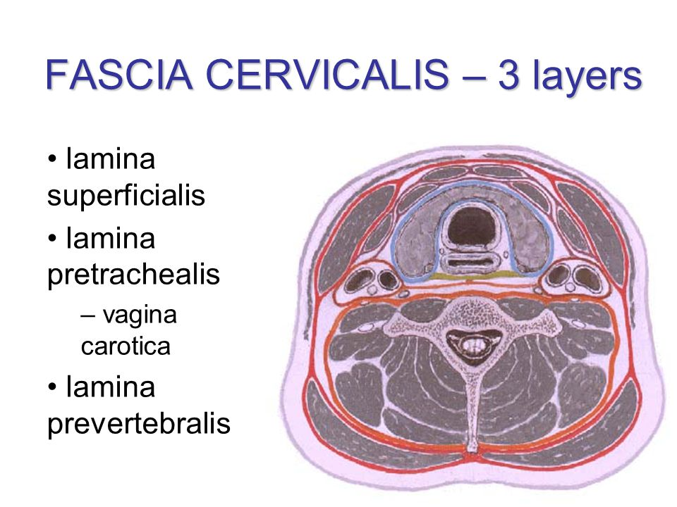 FASCIA CERVICALIS – 3 layers