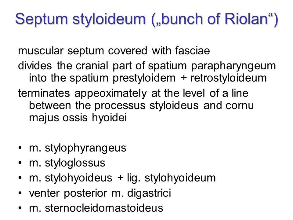 """Septum styloideum (""""bunch of Riolan )"""