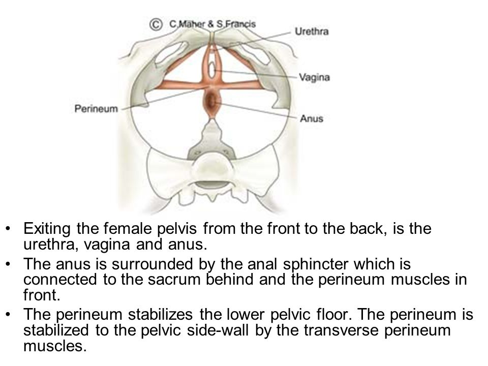 Exiting the female pelvis from the front to the back, is the urethra, vagina and anus.
