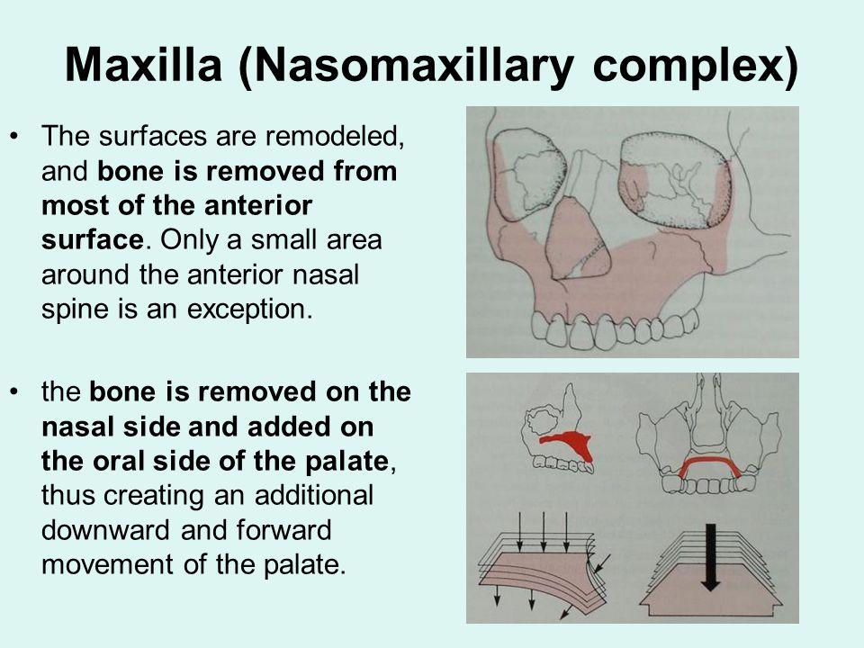 Maxilla (Nasomaxillary complex)