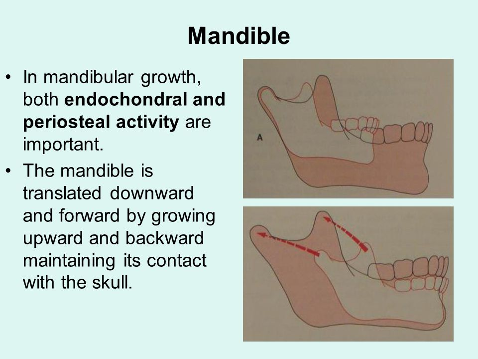 Mandible In mandibular growth, both endochondral and periosteal activity are important.