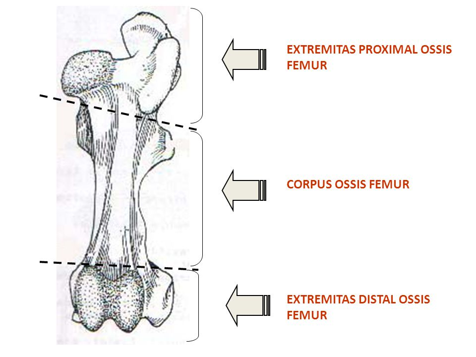 EXTREMITAS PROXIMAL OSSIS FEMUR
