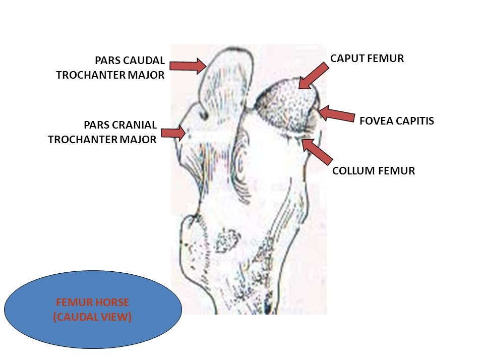 PARS CAUDAL TROCHANTER MAJOR