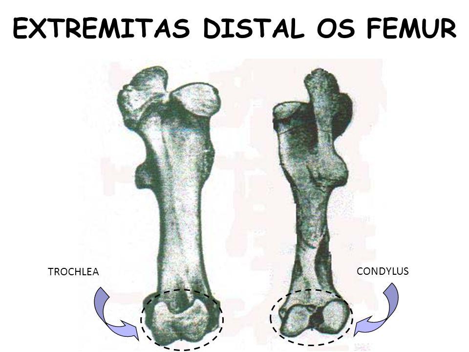 EXTREMITAS DISTAL OS FEMUR