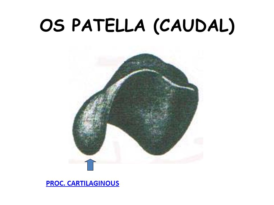 OS PATELLA (CAUDAL) PROC. CARTILAGINOUS