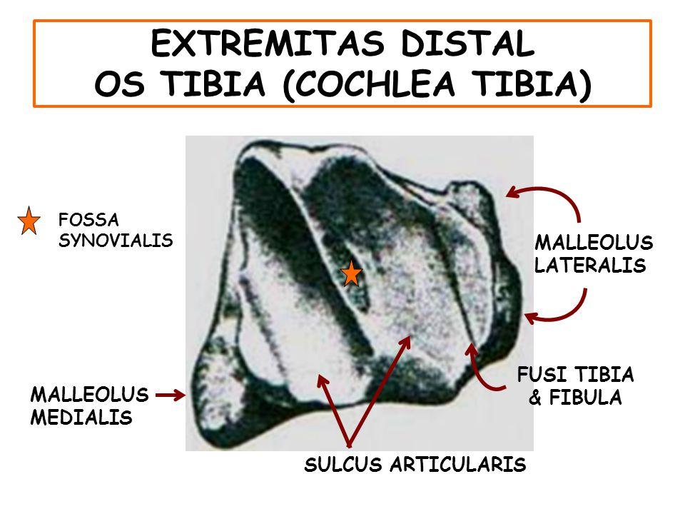 EXTREMITAS DISTAL OS TIBIA (COCHLEA TIBIA)