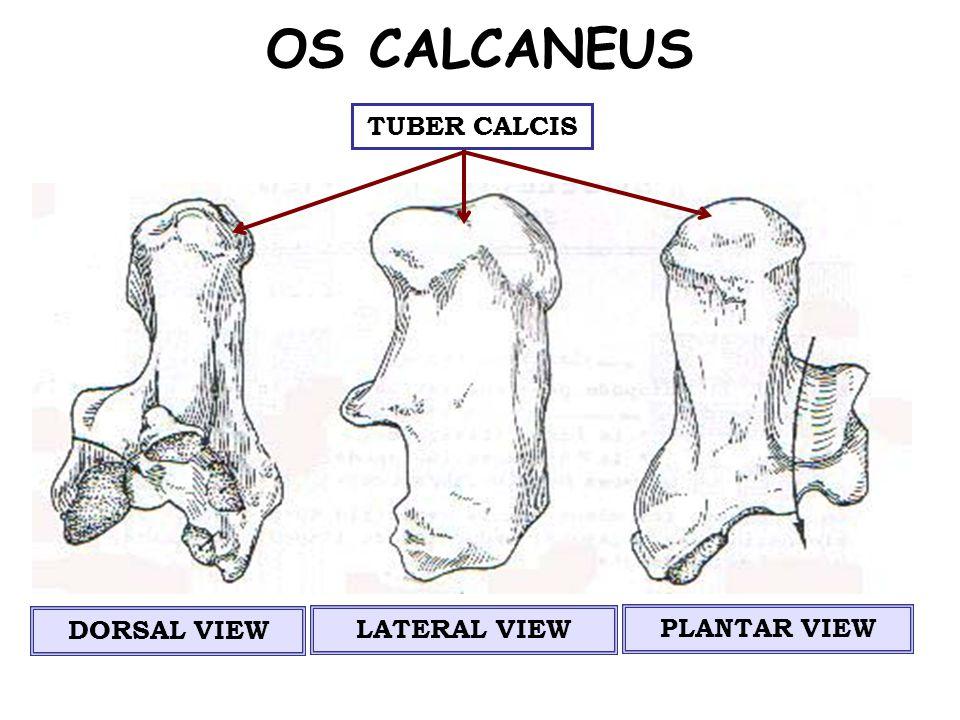 OS CALCANEUS TUBER CALCIS DORSAL VIEW LATERAL VIEW PLANTAR VIEW