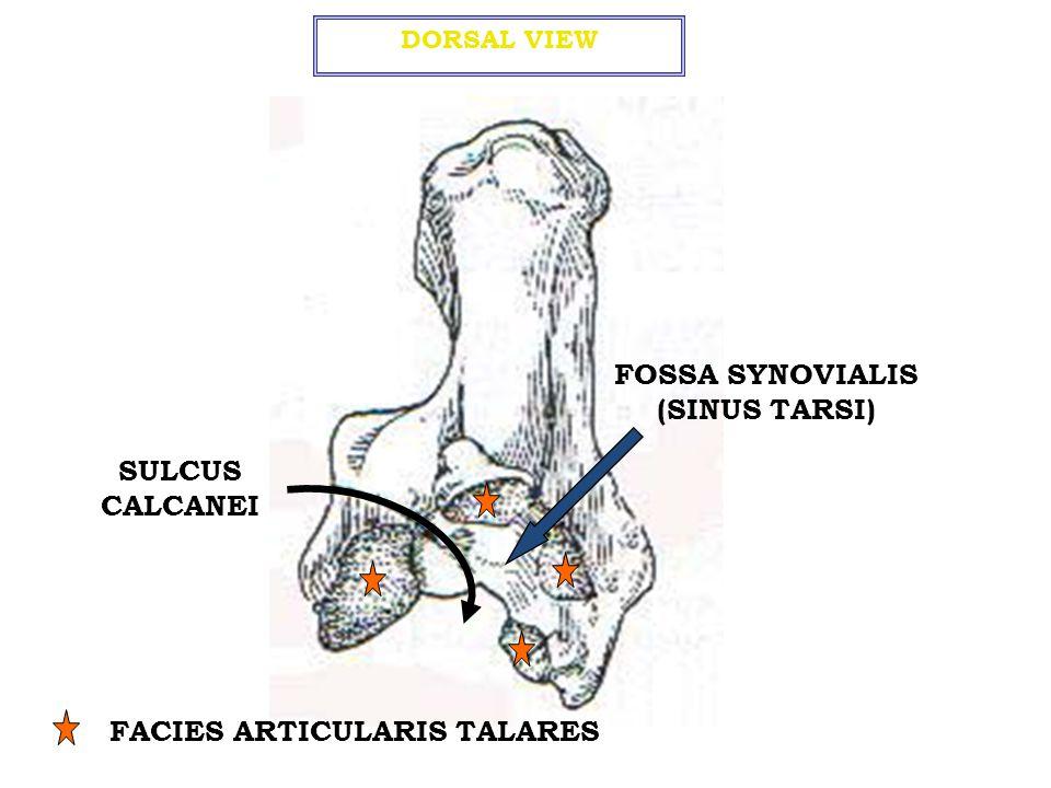 FOSSA SYNOVIALIS (SINUS TARSI) FACIES ARTICULARIS TALARES