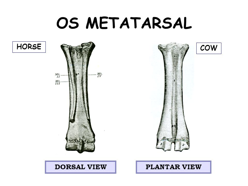 OS METATARSAL HORSE COW DORSAL VIEW PLANTAR VIEW