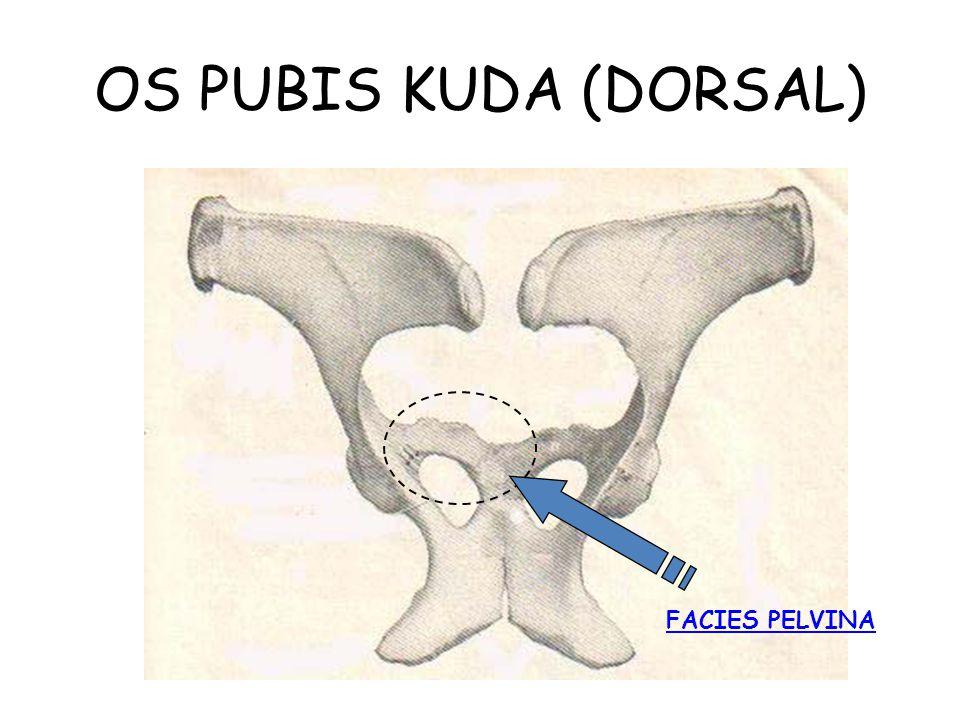 OS PUBIS KUDA (DORSAL) FACIES PELVINA