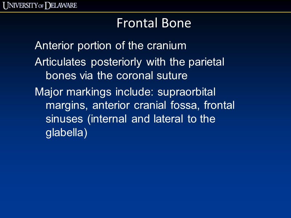 Frontal Bone Anterior portion of the cranium