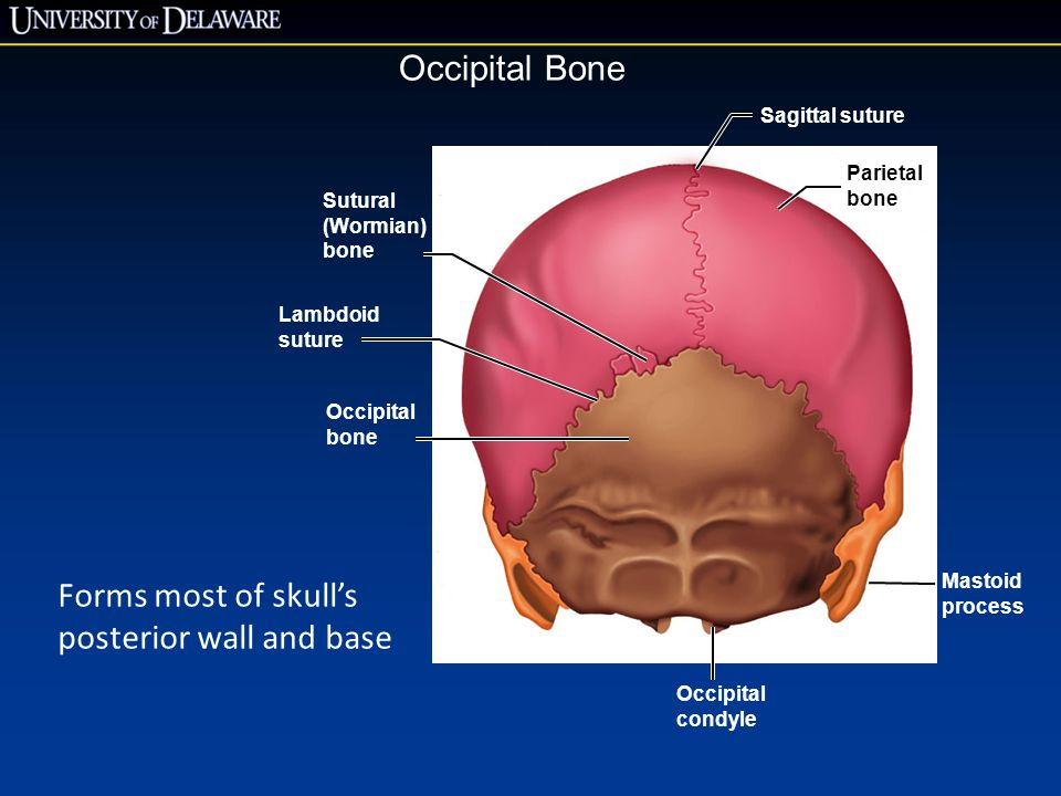Forms most of skull's posterior wall and base