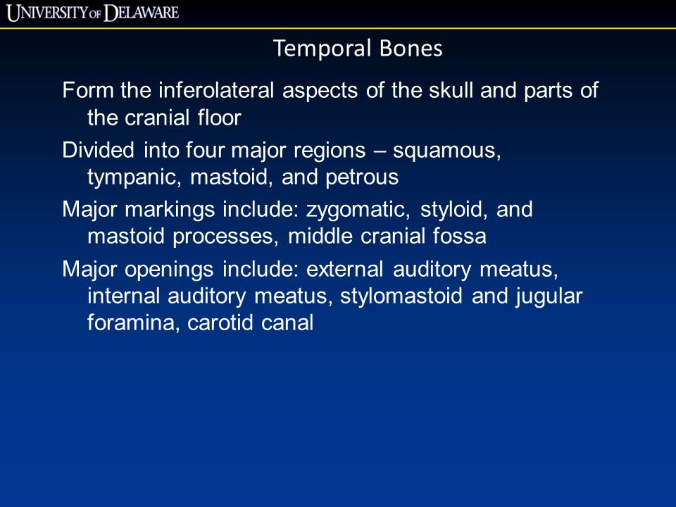 Temporal Bones Form the inferolateral aspects of the skull and parts of the cranial floor.