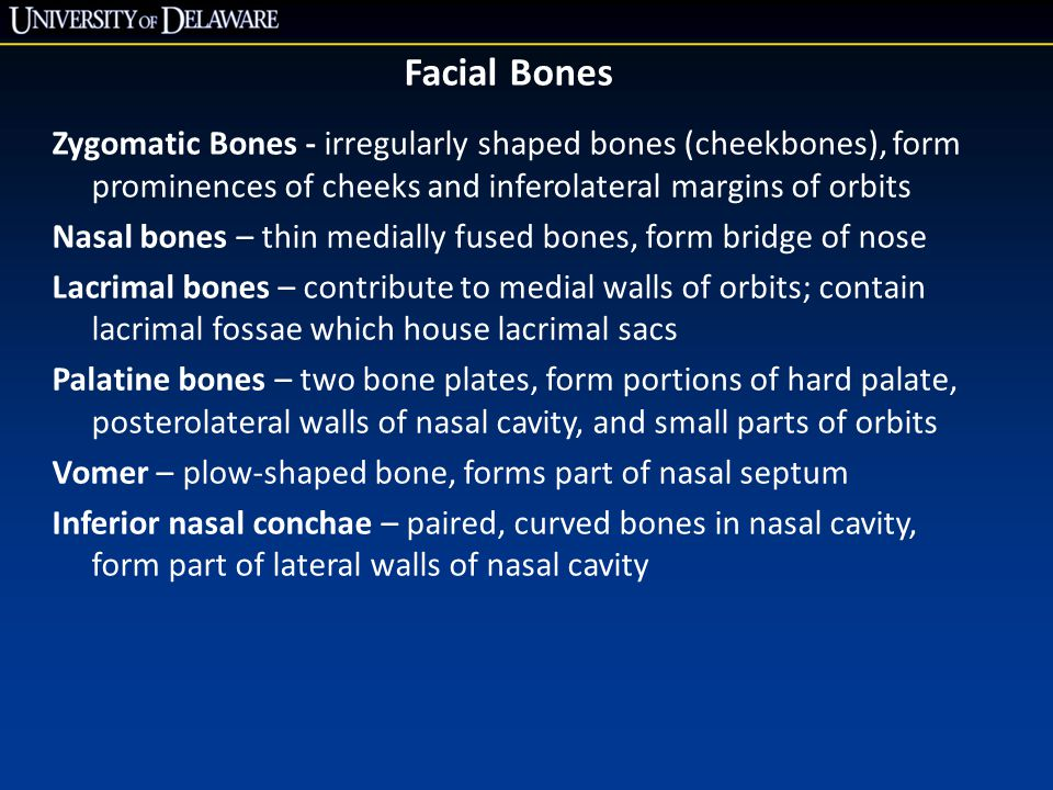 Facial Bones Zygomatic Bones - irregularly shaped bones (cheekbones), form prominences of cheeks and inferolateral margins of orbits.