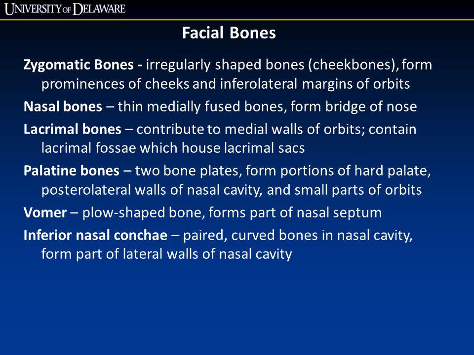 Facial Bones Zygomatic Bones - irregularly shaped bones (cheekbones), form prominences of cheeks and inferolateral margins of orbits.