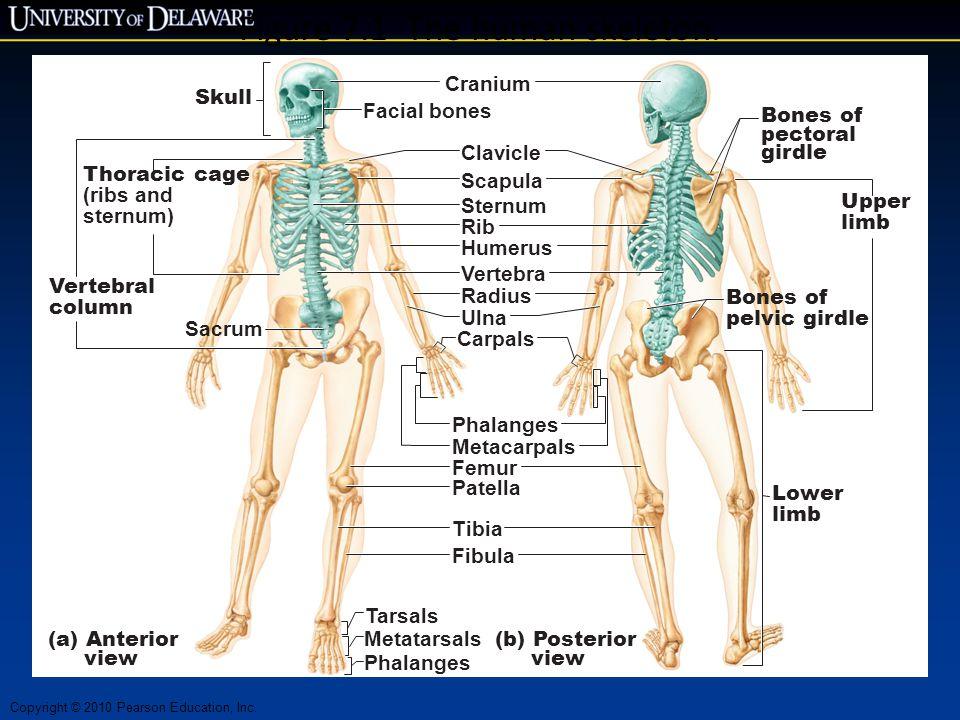 Figure 7.1 The human skeleton.