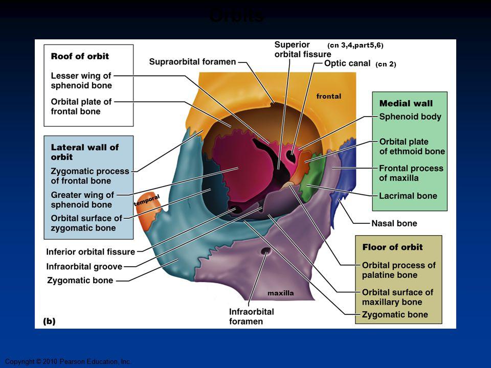 Orbits (cn 3,4,part5,6) (cn 2) frontal temporal maxilla