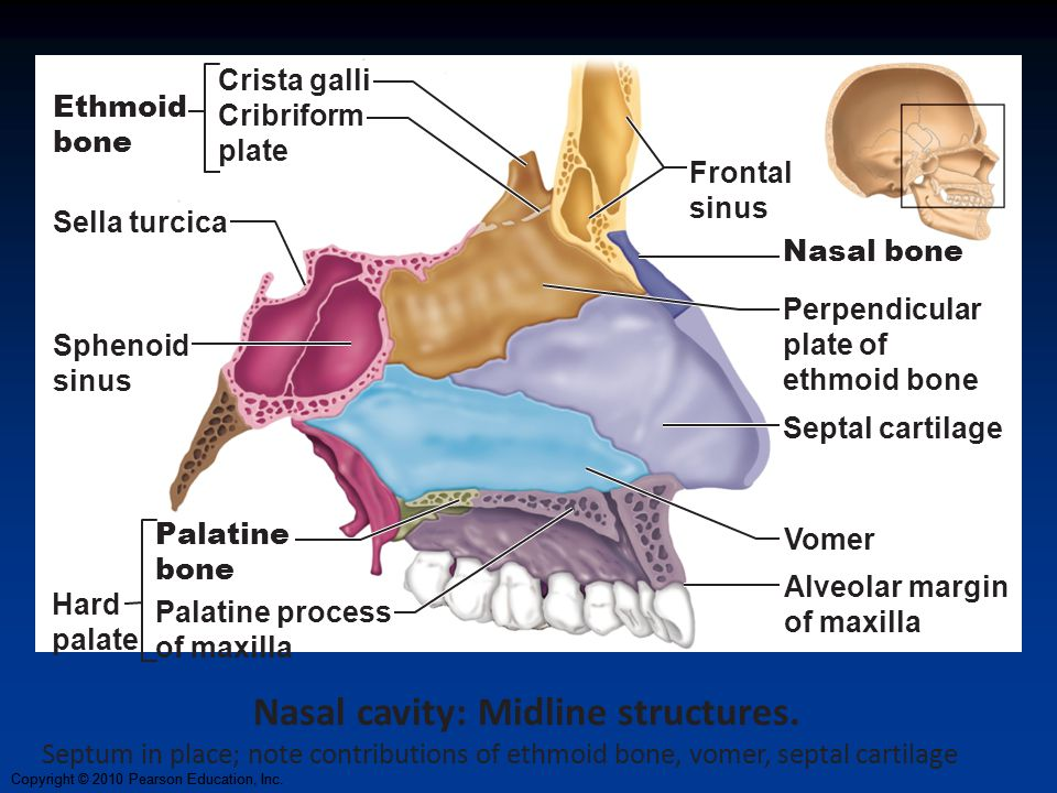 Nasal cavity: Midline structures.