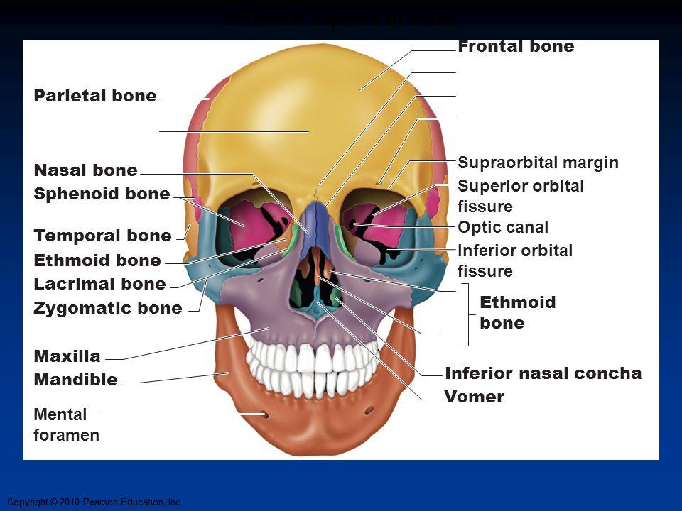 Anterior aspects of skull