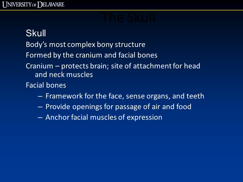 The Skull Skull Body's most complex bony structure