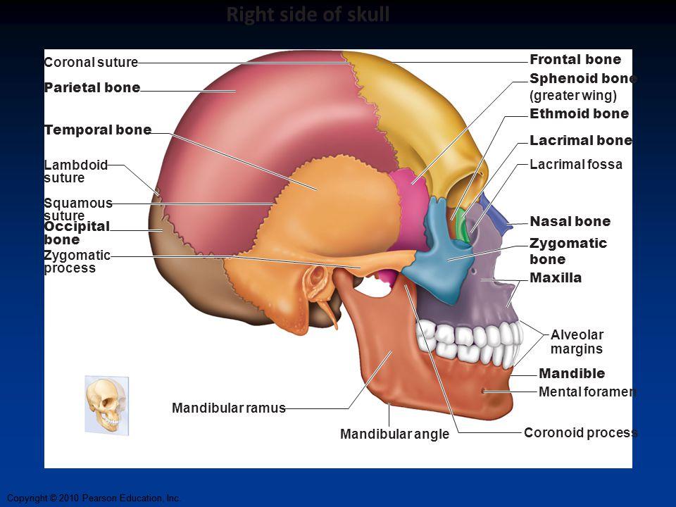 Right side of skull Frontal bone Coronal suture Sphenoid bone