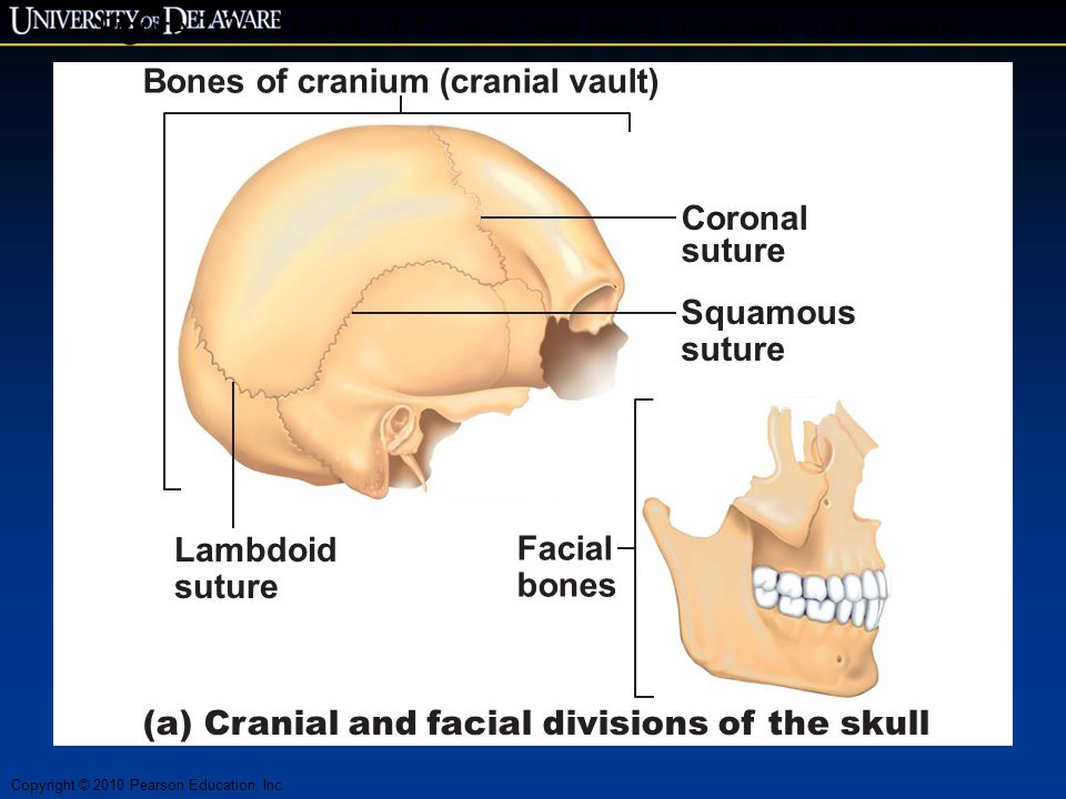 Figure 7.2a The skull: Cranial and facial divisions and fossae.